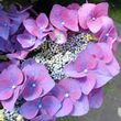 Hydrangea macrophylla Frisbee Hot Purple